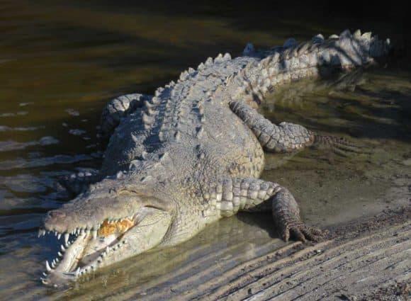 Crocodile at Flamingo Marina at Everglades National Park. (Photo David Blasco)