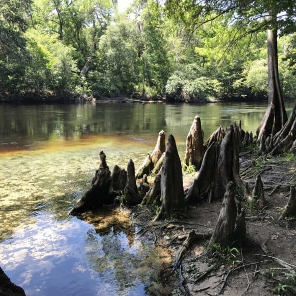 Cypress knees along the Santa Fe River. Note the color change from the clear spring water to the tannic river water. (Photo: Bonnie Gross)
