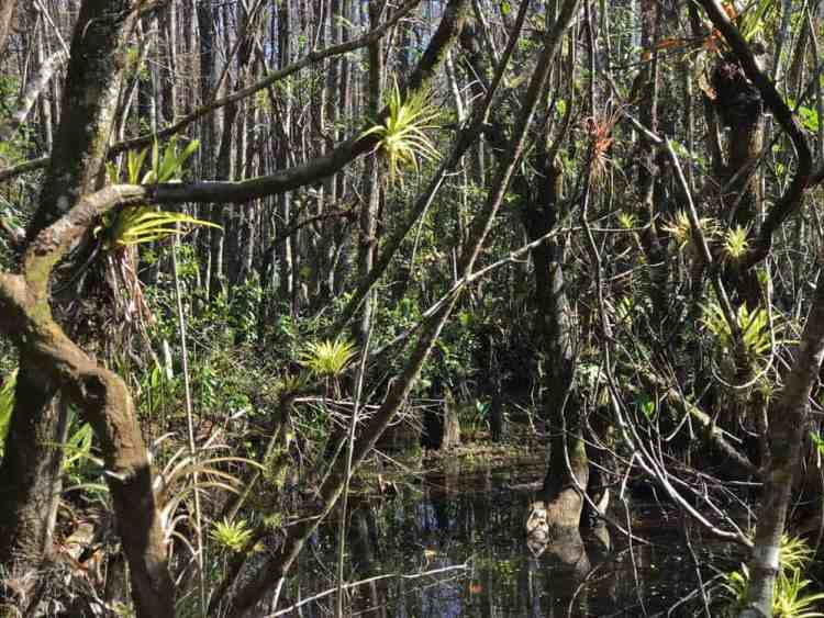 Fakahatchee Strand has miles of hiking, trails, including dry, easy-to-walk trails through a vast and beautiful cypress forest filled with air plants and wild orchids. (Photo: Bonnie Gross)