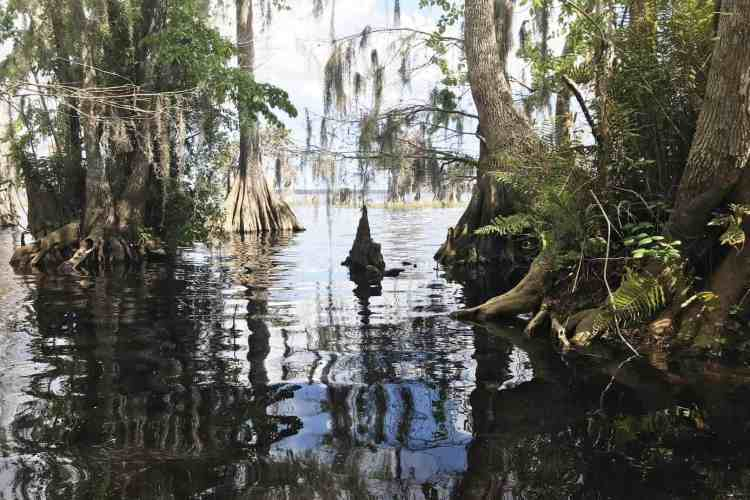 Shoreline of Blue Cypress Lake. (Photo: Bonnie Gross)