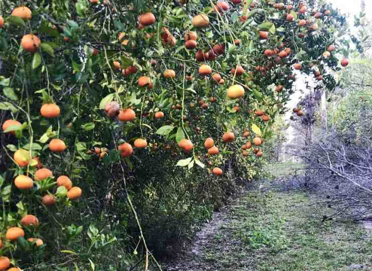 Before it was a park, sections of Lake Louisa State Park in Clermont were planted with citrus trees, which continue to bear fruit in some of the wooded areas and along some trails. (Photo: Bonnie Gross)
