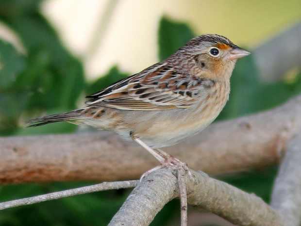 Grasshopper sparrow. (Photo by Kenneth Cole Schneider)