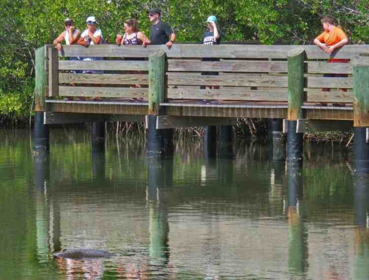Manatee (see lump at lower left) at Round Island Park. (Photo: David Blasco)