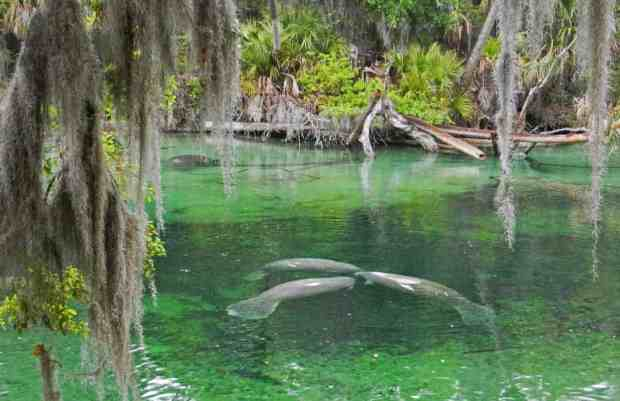 Manatees at Blue Spring State Park. (Photo: Bonnie Gross)