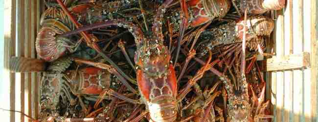 The regular Florida lobster season is here