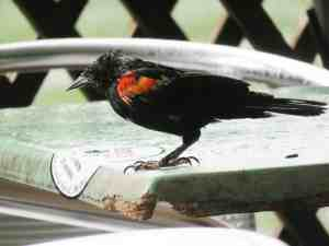 Red-wing blackbirds make pretty beggars at Alabama Jacks. (Photo: David Blasco)