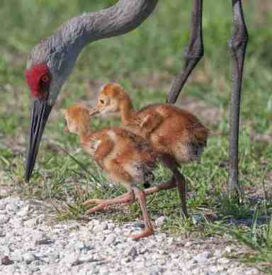 A family of sandhill cranes at Circle B Bar Reserve, Lakeland, Fl. Photo by Matthew Paulson, PhotoMatt28 via Flickr.