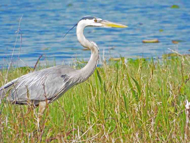 Blue heron at Lake Ashby