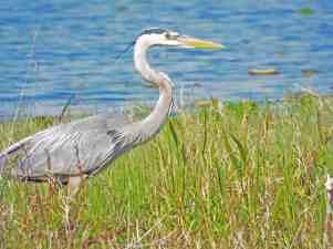Blue heron at Lake Ashby