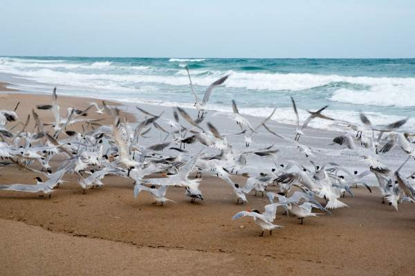 Royal terns on the beach at Canaveral National Seashore