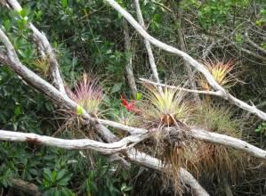 Blooming epiphytes Halfway Creek