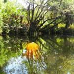 Manatee at Imperial River Bonita Springs