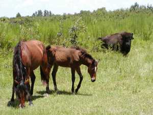 Horses and bison at Paynes Prairie State Park