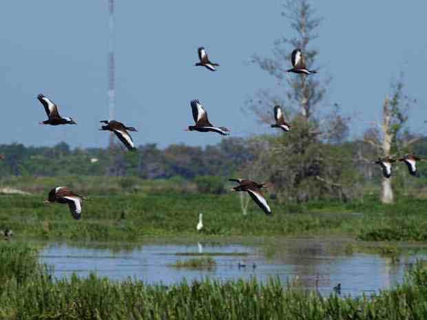 A flock of whistling ducks at Circle B Bar Reserve capture by James Butler via Flickr