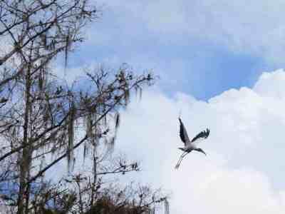 A wood stork takes flight along Fisheating Creek near Lake Okeechobee.