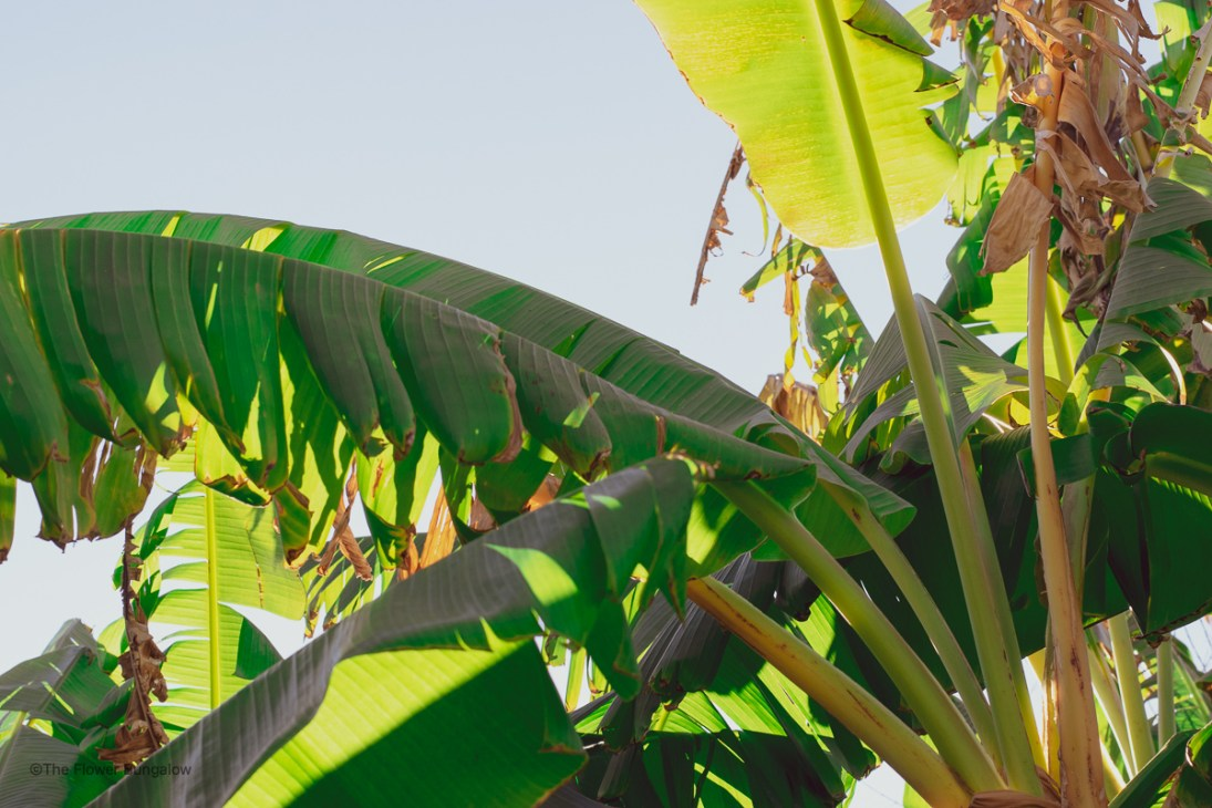 banana-trees-the-flower-bungalow-arcadia-phoenix-arizona