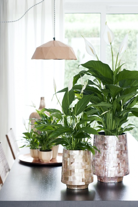 Image result for japanese peace lily