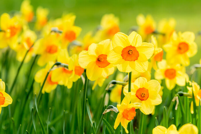 Image result for photo of daffodils flower