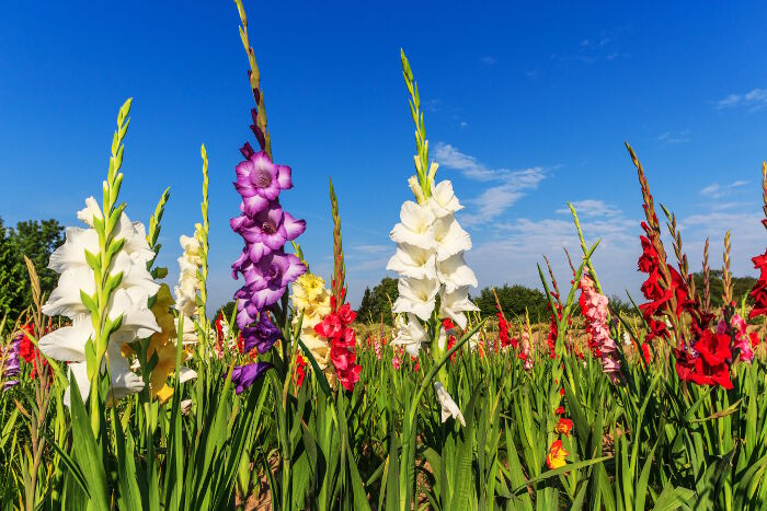 Gladiolus Flower Meaning   Flower Meaning Once you use this secret formula on someone  they will feel a huge rush of  positive emotions towards you    Try it before it s too late  Follow this  link