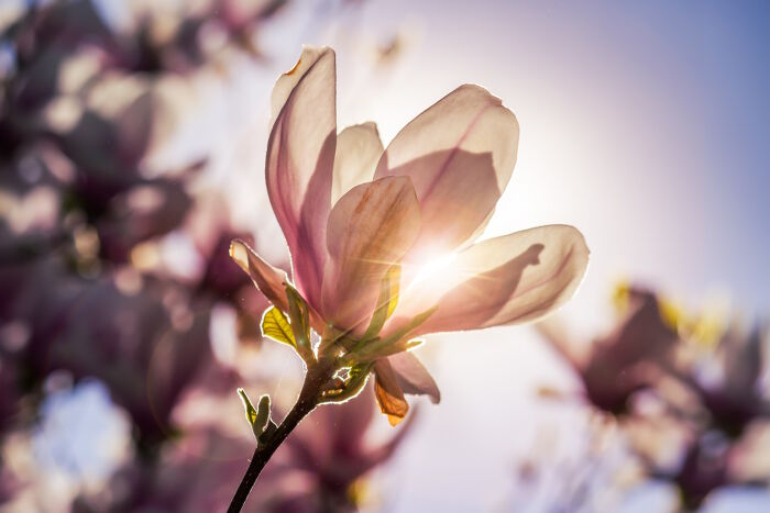Magnolia Flower Meaning   Flower Meaning Once you use this secret formula on someone  they will feel a huge rush of  positive emotions towards you    Try it before it s too late  Follow this  link