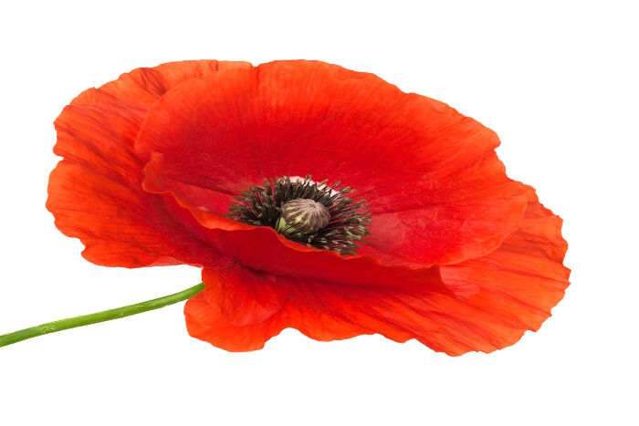Poppy Flower Meaning   Flower Meaning Poppy Flower