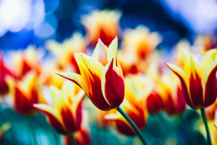 Tulip Flower Meaning   Flower Meaning Yellow And Red Flowers Tulips In Spring Garden Flower Bed