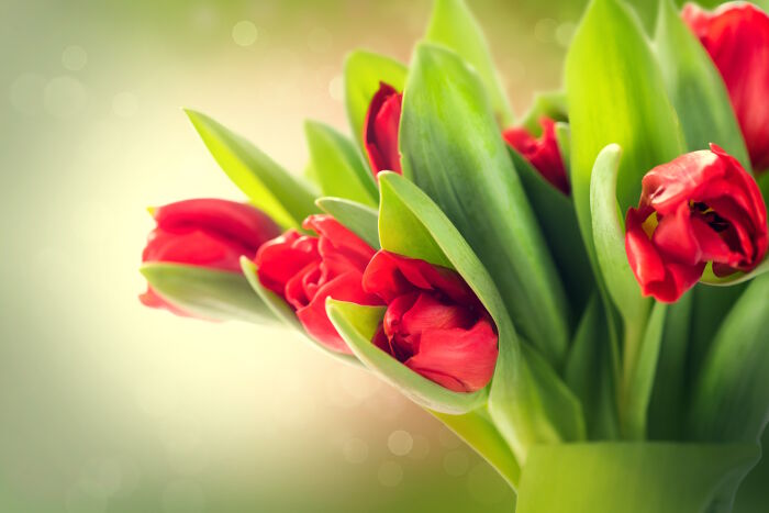Tulip Flower Meaning   Flower Meaning Tulip Color Meaning