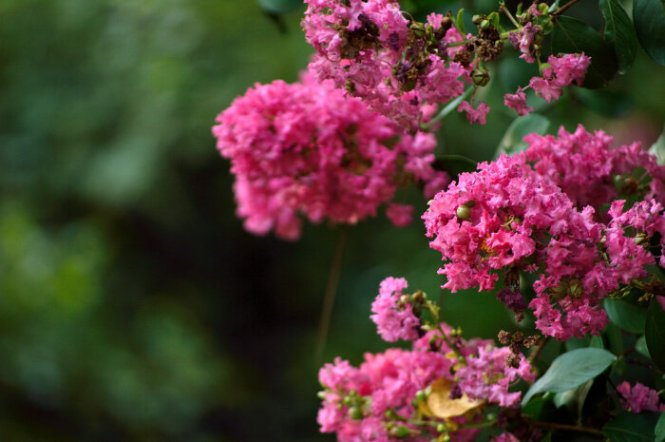 myrtle flower  flower, Natural flower