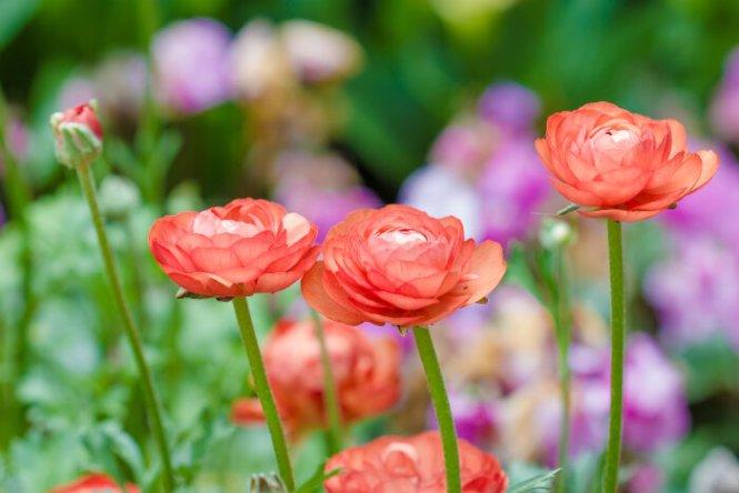 ranunculus flower  flower, Natural flower