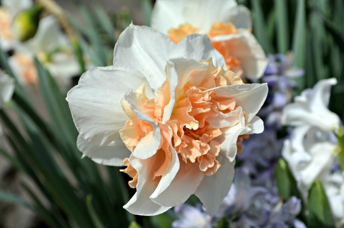 Ironstone Apricot Daffodil, FlowerPatchFarmhouse.com