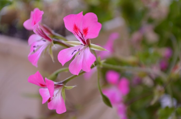 tornado series pink ivy geranium, FlowerPatchFarmhouse.com