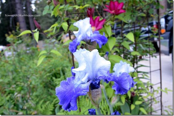 bi color iris