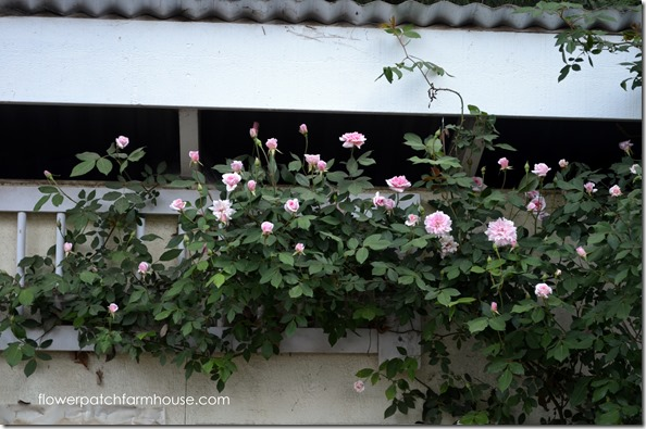 cecile brunner rose