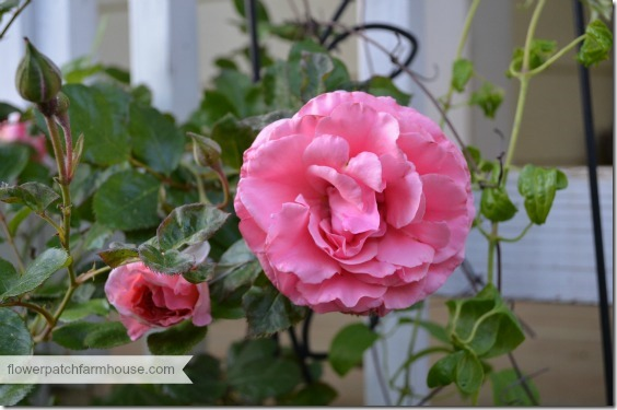 dream weaver rose 1