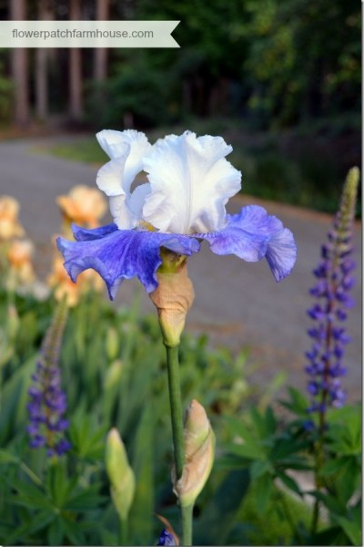 elise iris