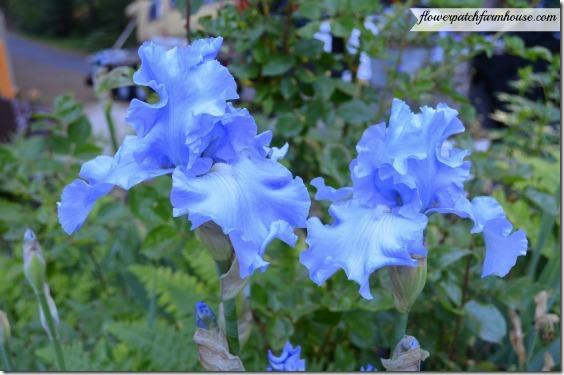icy blue iris560