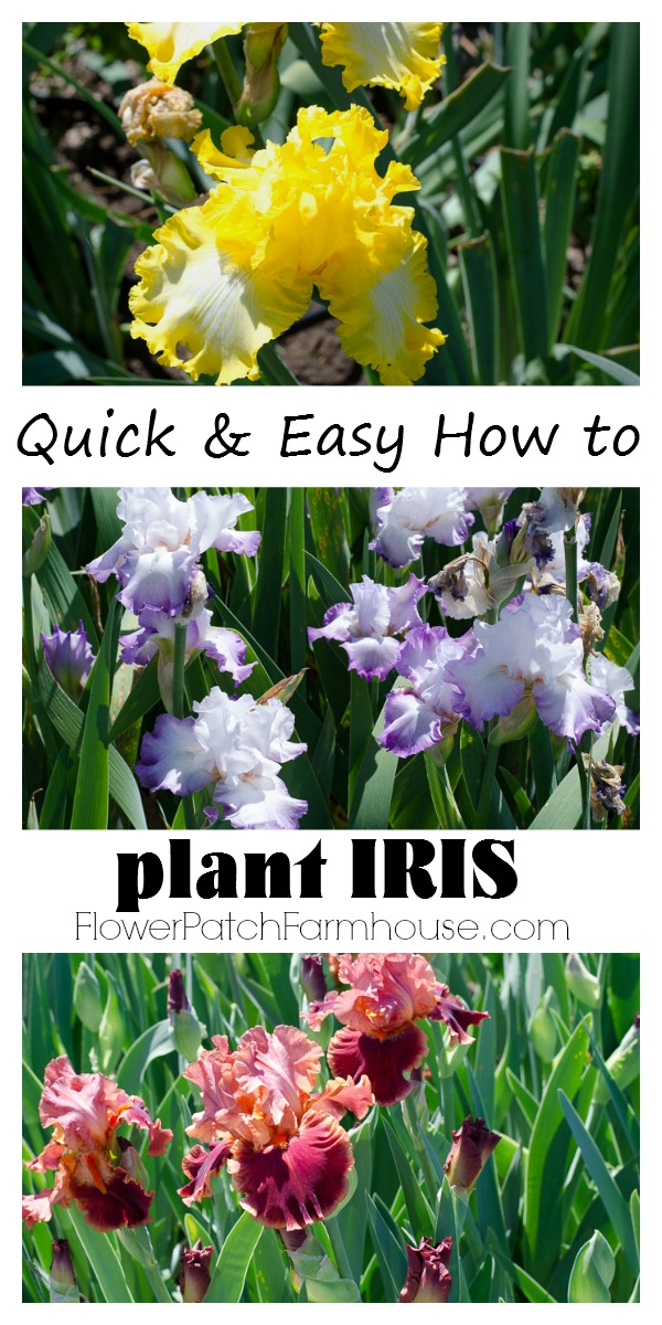 Iris are easy to plant but you have to do it right to get the most from your rhizomes. Plant Iris successfully and enjoy years of beautiful blooms.  #iris #growiris #rhizomes #howtogarden