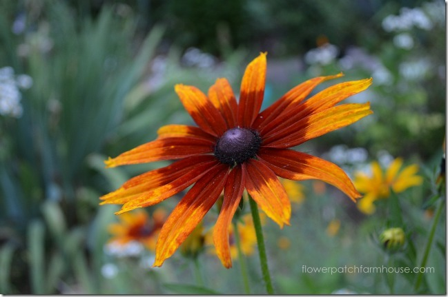 Rudbeckia yellow red6