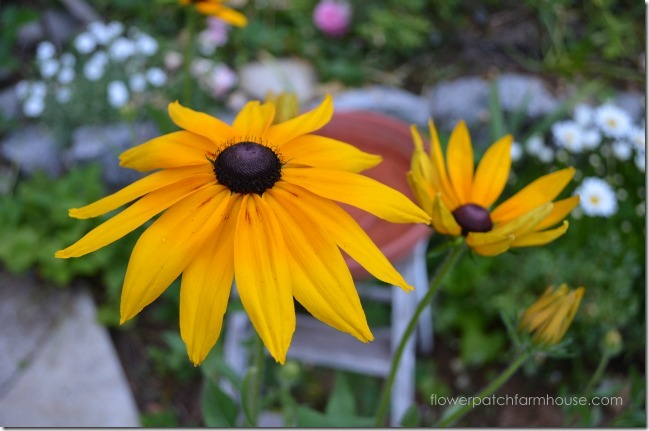 Rudbeckia yellow6
