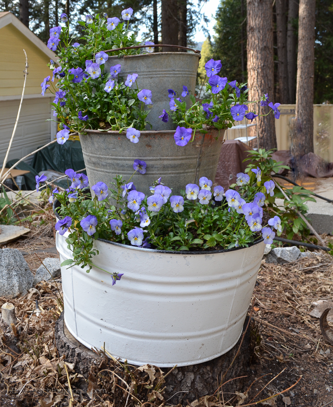 Galvanized bucket planter filled with voilas or pansies, FlowerPatchFarmhouse.com