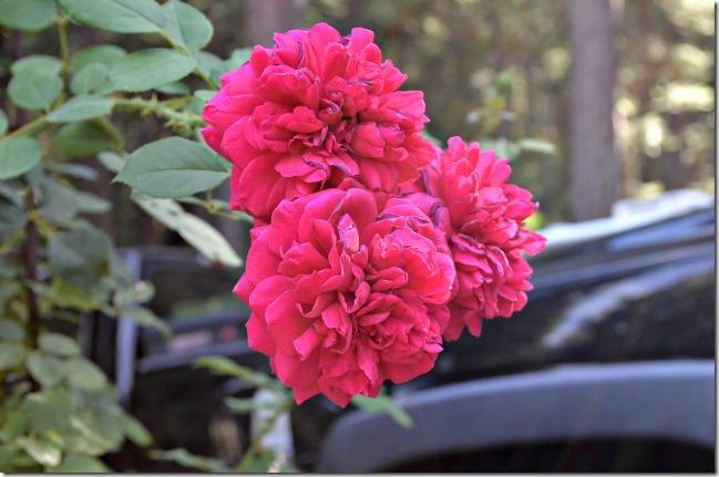 Tess D'Ubervilles rose