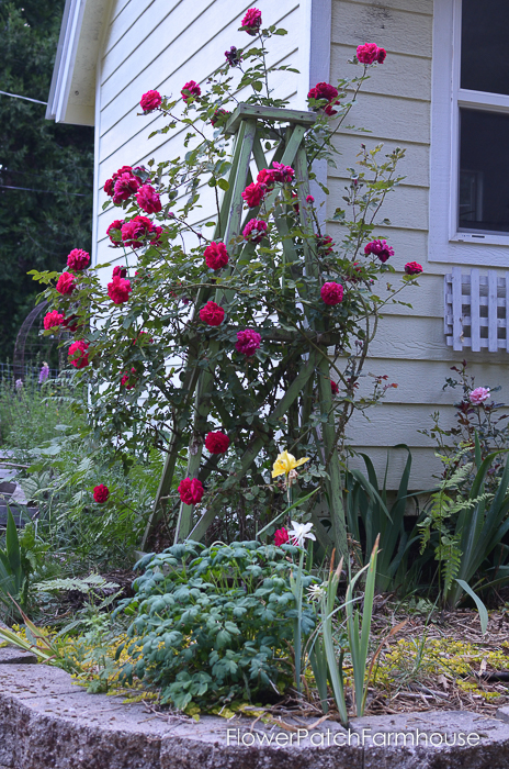 Tess d'Ubervilles rose on easy to build garden obelisk.