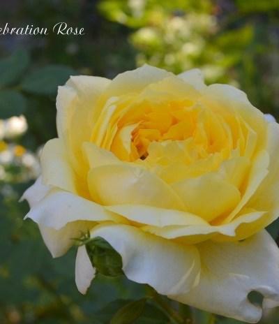 Ten Rose Care Myths Debunked
