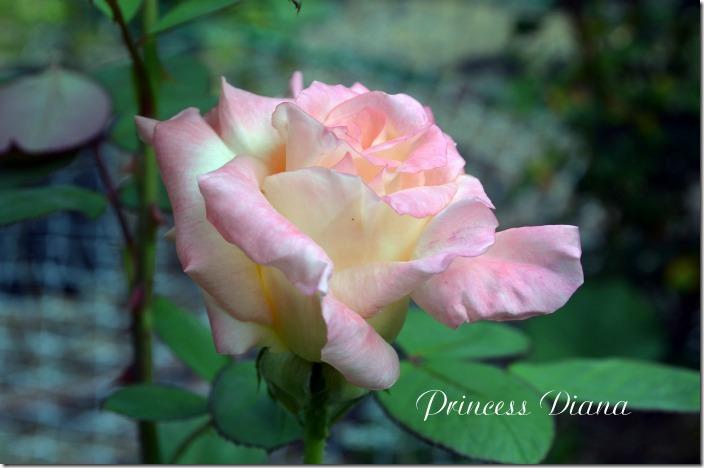 Princess Diana7