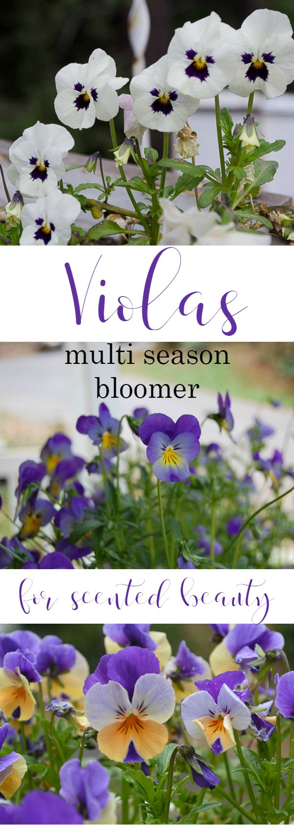 Violas for winter cheer, a sweet scented bloomer that likes it cool. As easy to grow as they are beautiful. Perfect in garden beds, window boxes and pots on the front porch or patio.