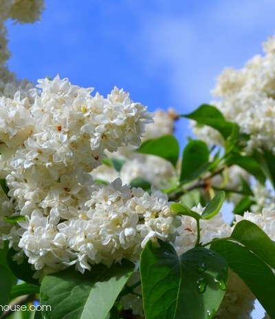 Lilacs of White Pines