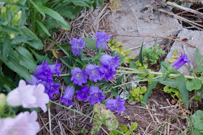 Purple Cantebury Bells