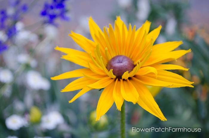 How to Grow Black Eyed Susans, easy flowers for your cottage garden. Easily reseeds for years of enjoyment and ease. FlowerPatchFarmhouse.com