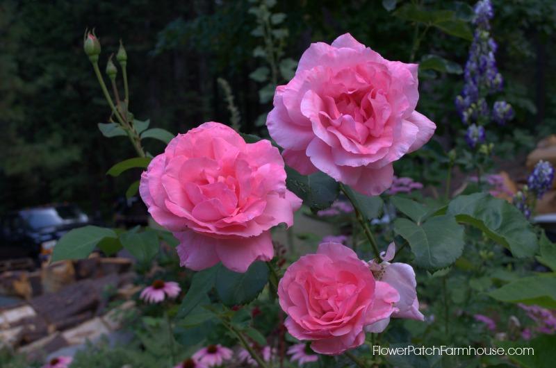 Queen Elizabeth Rose, a hardy soul.