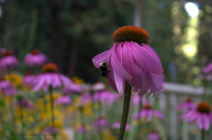Bumblebee on a Purple Coneflower, plant a bee friendly garden, create a hospitable place for them to gather pollen and nectar and make for a much better garden for you